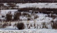 雪地狼群奔跑捕猎捕食北美野牛 野狼视频素材 美洲野生动物