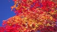 秋天枫叶森林苔藓