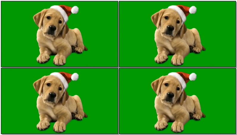 绿屏抠像带圣诞帽的金毛狗