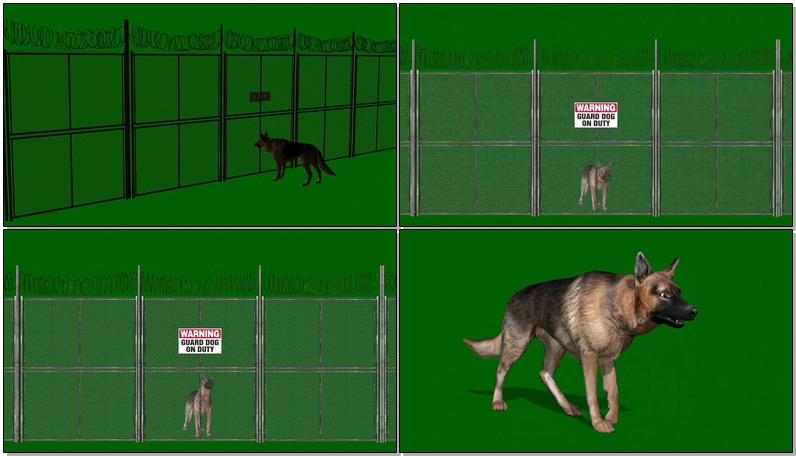 绿屏抠像看门的狼狗