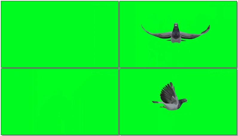 绿屏抠像飞行的鸽子