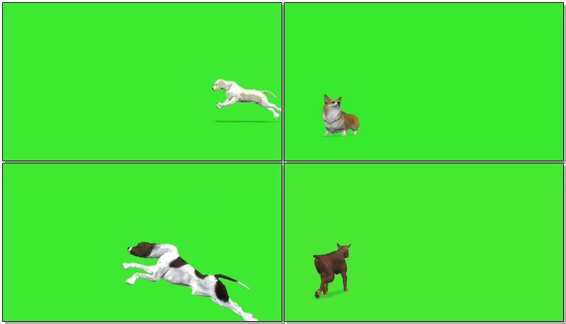 绿屏抠像各种狗狗犬类