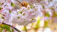 春天果树开花 满树枝头繁花 鲜花绽放 风吹花动