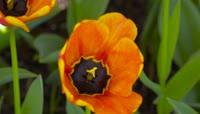 郁金香 花卉鲜花种植基地 花海视频素材