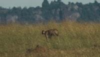 野生动物猎豹