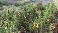 果园成熟的桔子视频素材