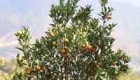 果园果树桔子视频素材