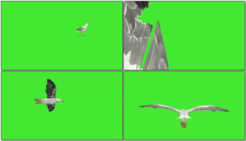 绿屏抠像海鸥