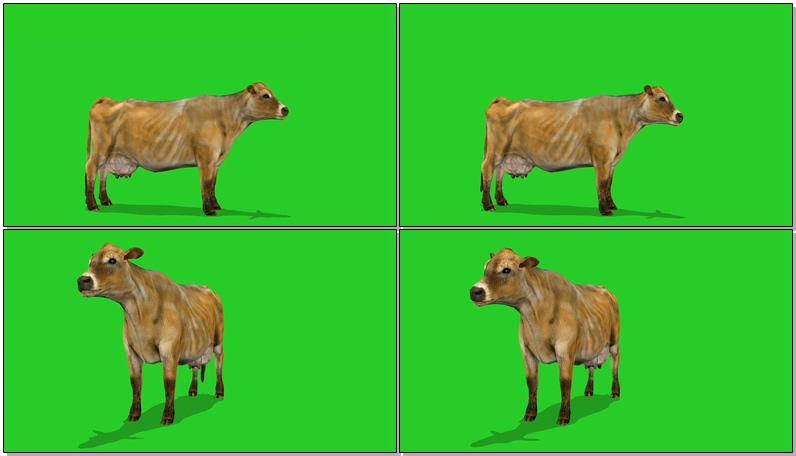 绿屏抠像母牛奶牛