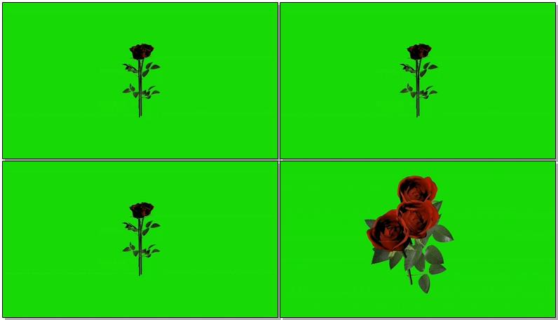 绿屏抠像玫瑰花