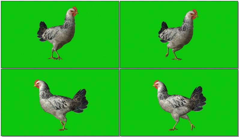 绿屏抠像下蛋的母鸡