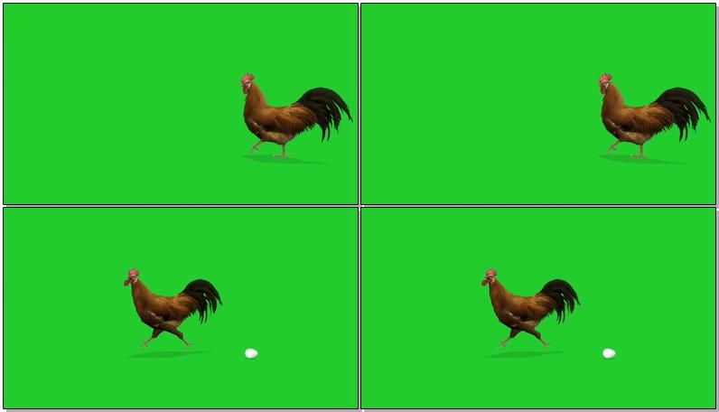 绿屏抠像下蛋的公鸡