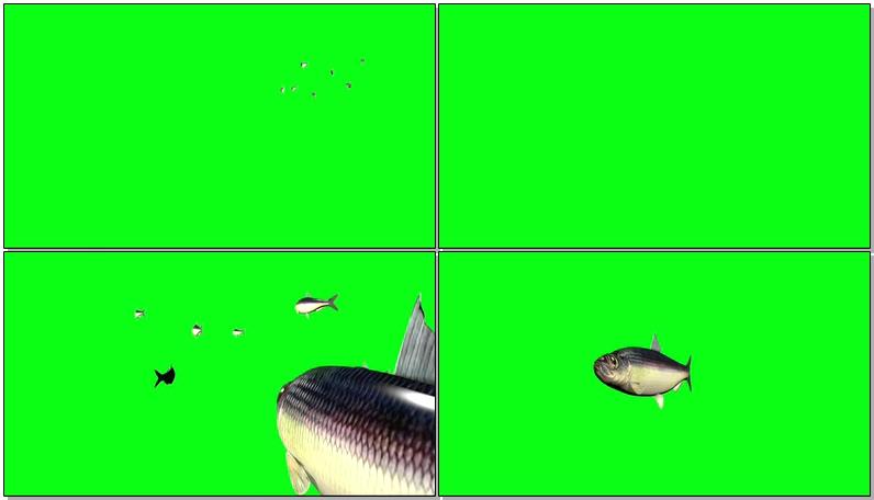 绿屏抠像草鱼