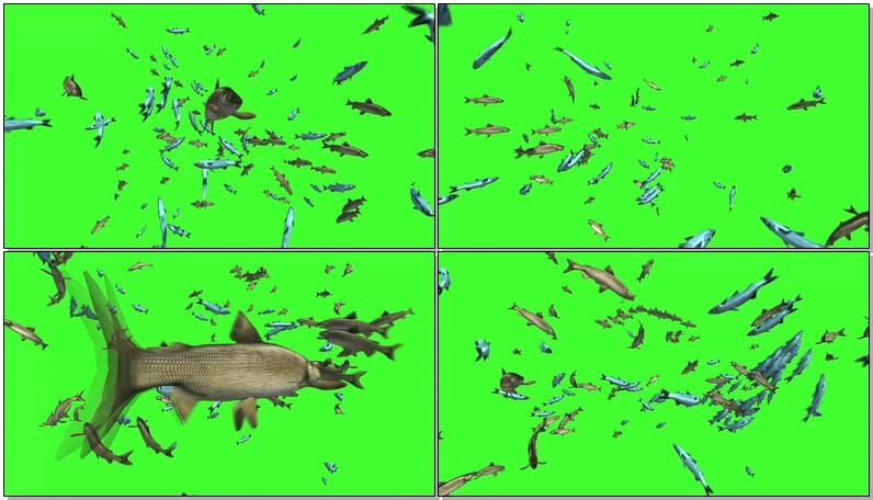 绿屏抠像3D鱼群