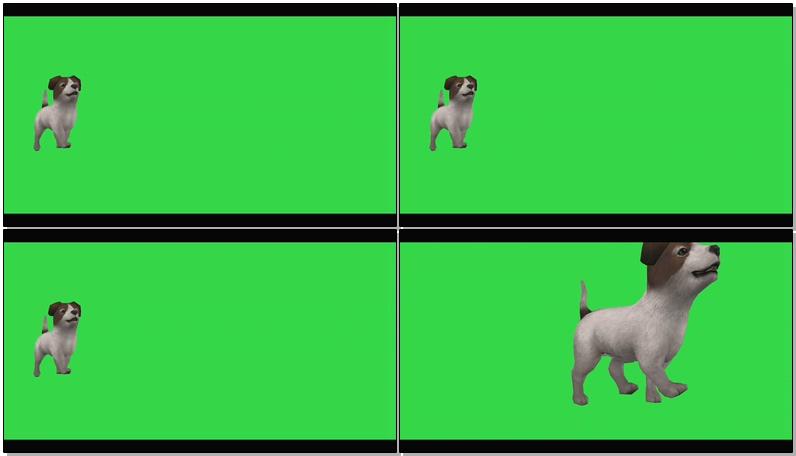 绿屏抠像白色小狗