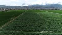 4K高清农村农业农田农作物绿意盎然视素材