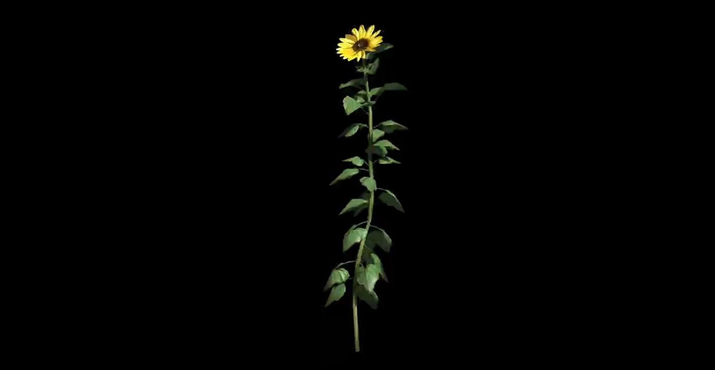 随风摆动的向日葵