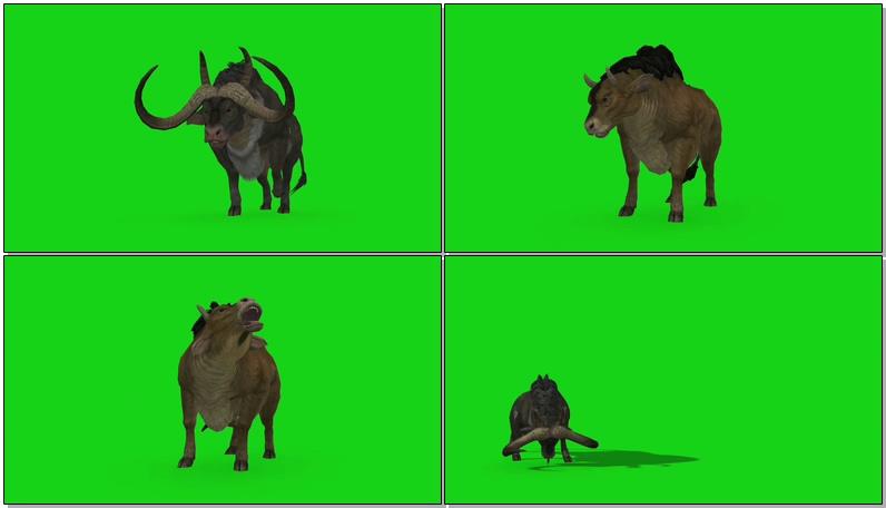 绿屏抠像水牛