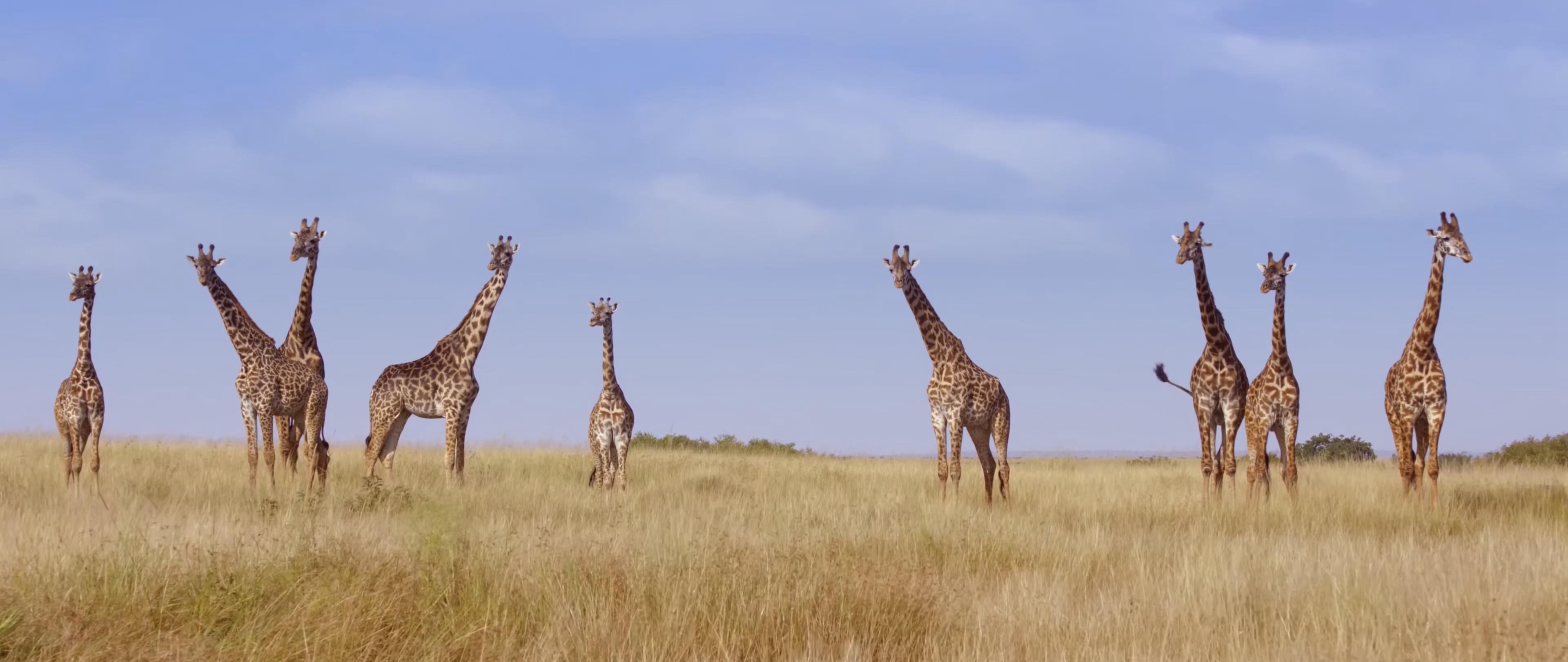 自然 日出 日落 羚羊 河马 狮子 森林 雨林 火烈鸟 沼泽 湿地 大象 长颈鹿 树 斑马 草原 角马 非洲 平原 鳄鱼