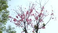 春季浪漫樱花实拍视频素材