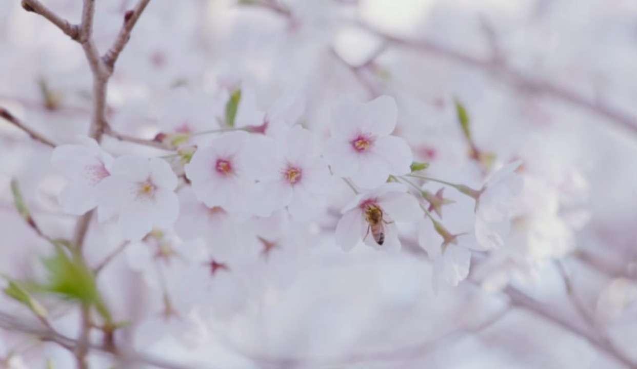 清新樱花季,赴一场浪漫之约