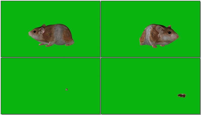 绿屏抠像可爱的仓鼠
