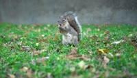 草丛中觅食的可爱小松鼠视频素材