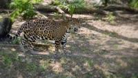 花豹与狮子树荫下休息视频素材