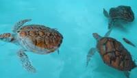 水族馆欢快游泳的海龟视频素材