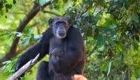 大猩猩生活玩耍视频素材