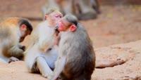 可爱猴子相互梳理毛皮视频素材