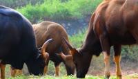 水牛吃草视频素材