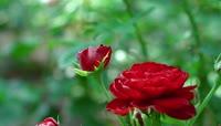 浪漫玫瑰月季视频素材