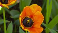 郁金香的海洋大自然风光鲜花