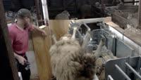 养殖场机械化剪羊毛视频素材