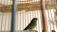 鸟笼中的小鸟视频素材