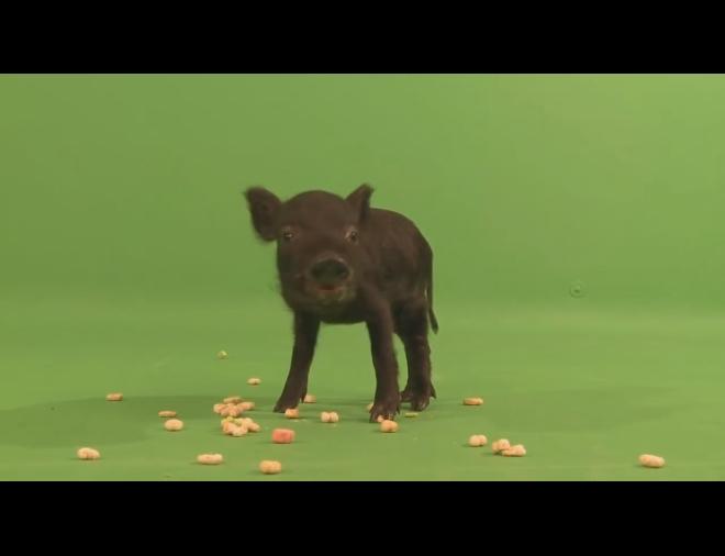绿屏抠像 猪 吃食