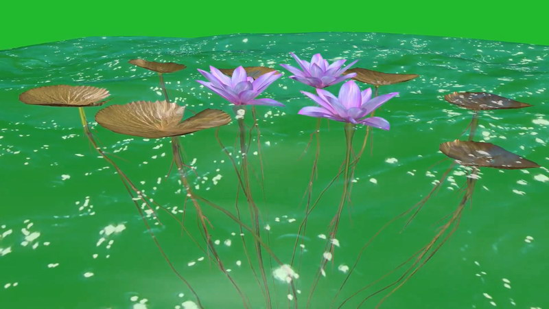绿屏抠像水中的荷叶荷花