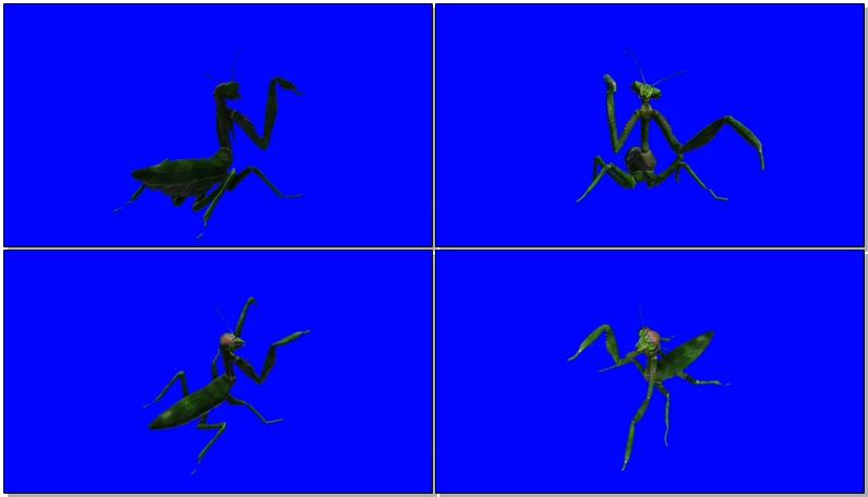 绿屏抠像立体螳螂