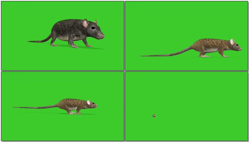 绿屏抠像老鼠