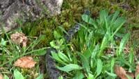 草丛中爬行的黑色毒蛇视频素材