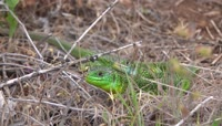 草丛中绿色蜥蜴视频素材