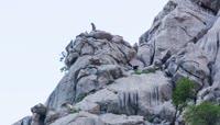 陡峭山壁上山羊2K超清视频素材
