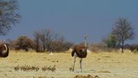 非洲野生动物保护区小鸵鸟一家视频素材
