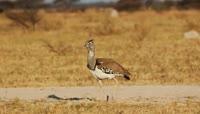 秋天草原中踱步行走的小鸟2K视频素材