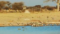 河边喝水的鸽子2K视频素材