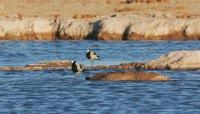河边梳洗羽毛的小鸟2K视频素材