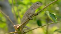 丛林变色龙蜥蜴青蛙2K实拍视频素材