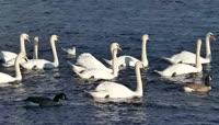 湖面上优雅美丽的白天鹅2K视频素材