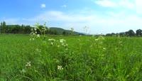 2K草原上微风中摇摆的小花视频素材